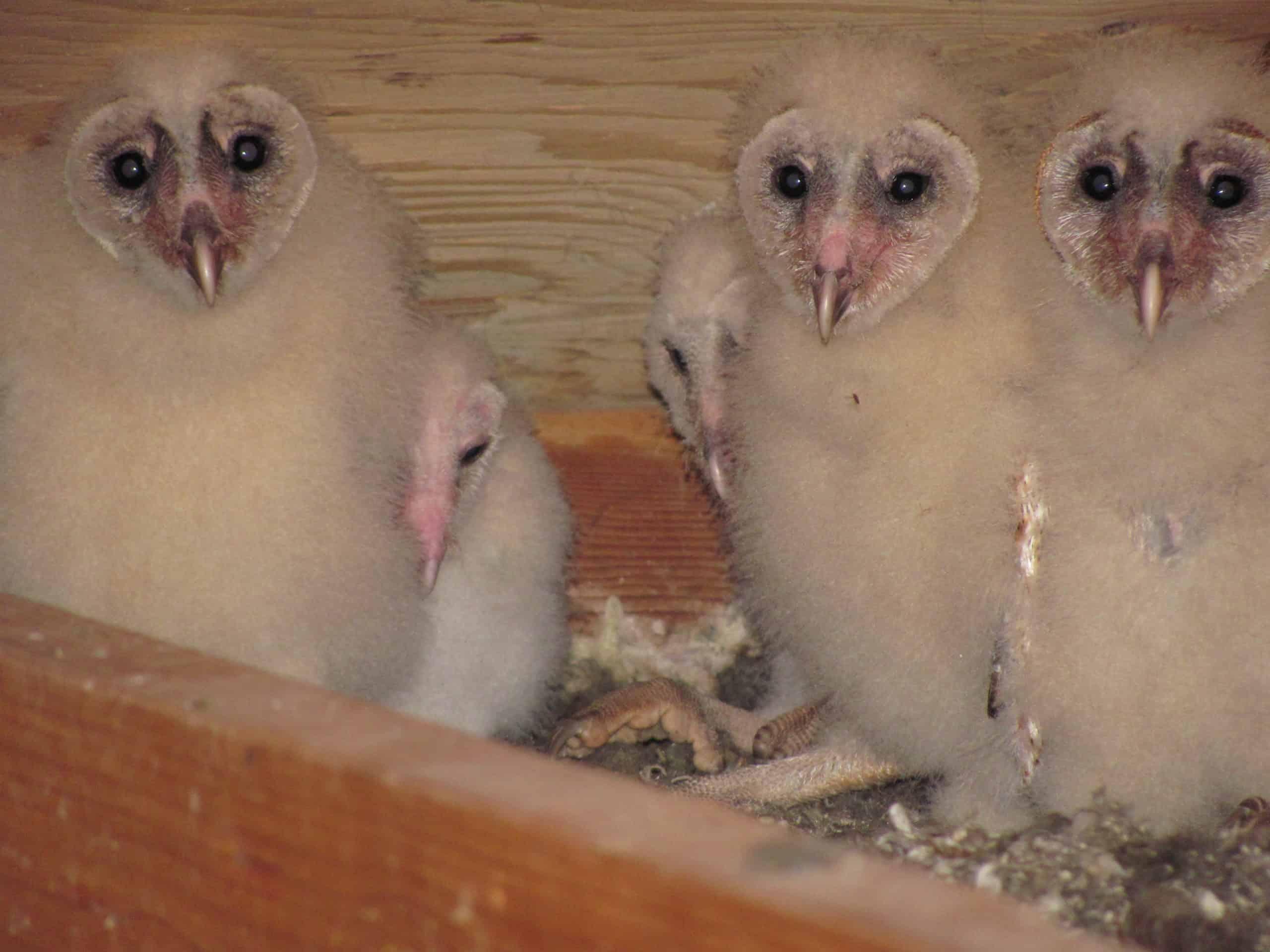 ATTIC OWLS (1)
